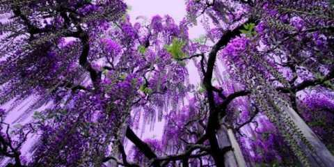 Парк квітів асікага в японській провінції точиги на о.хонсю